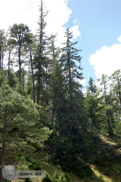Irekani Instituto De Biologia Unam Bosque De Pino Encino