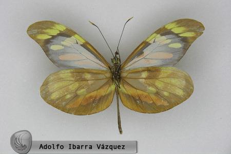 Dismorphia amphiona isolda (macho ventral)
