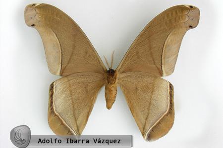 Rhescyntis (Rhescyntis) septentrionalis (macho ventral)