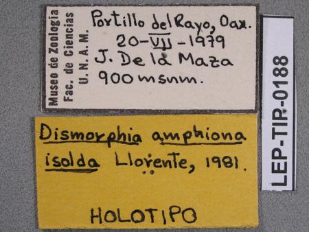 Dismorphia amphiona isolda (etiquetas de macho)