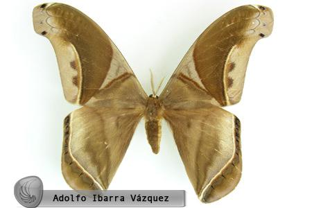 Rhescyntis (Rhescyntis) septentrionalis (macho dorsal)