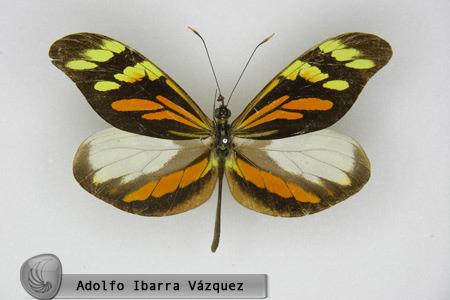 Dismorphia amphiona isolda (macho dorsal)