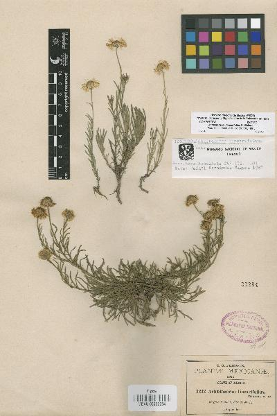 Achaetogeron linearifolius S. Watson