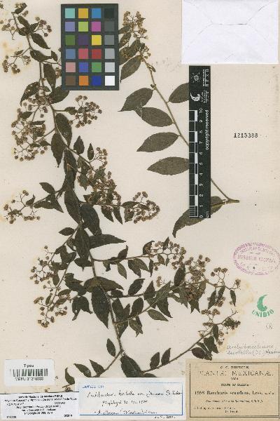 Archibaccharis hirtella var. albescens (DC.) Heering