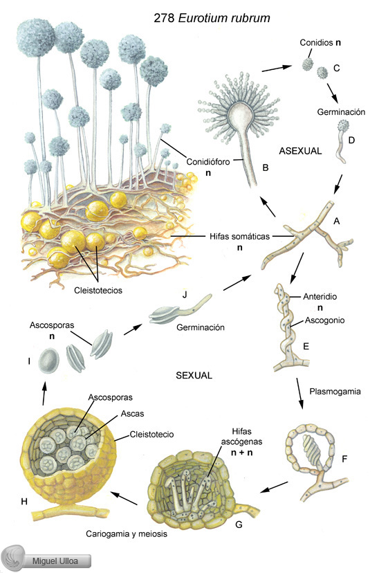 Ciclo de reproduccion asexual de los hongos