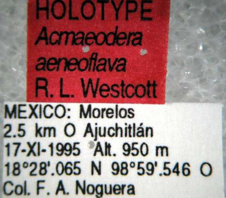 Acmaeodera aeneoflava (etiquetas)