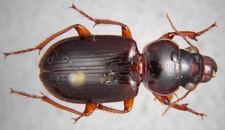 Polpochila hendrichsi (dorsal)