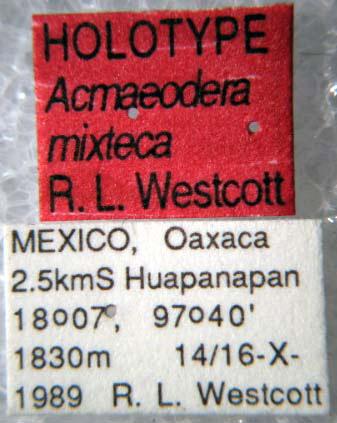 Acmaeodera mixteca (etiquetas)