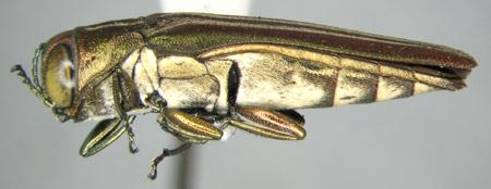 Agrilus jaliscoanus (lateral)