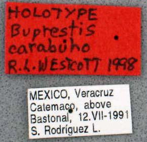 Buprestis carabuho (etiquetas)