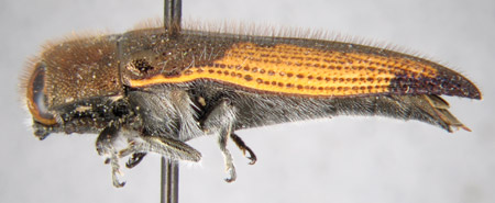 Acmaeodera aeneoflava (lateral)