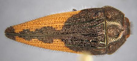 Acmaeodera mixteca (dorsal)