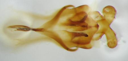 Amblycerus stridulator (genitalia)