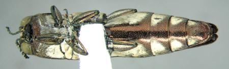 Agrilus jaliscoanus (ventral)