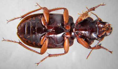 Polpochila hendrichsi (ventral)