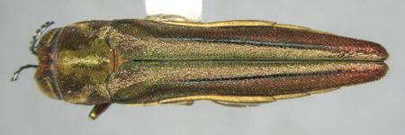 Agrilus jaliscoanus (dorsal)