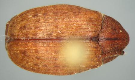 Amblycerus stridulator (dorsal)