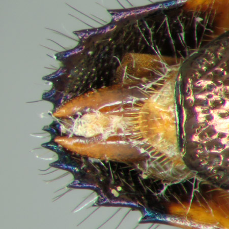 Acmaeodera mixteca (zona genital)