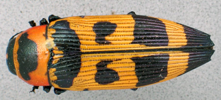 Buprestis carabuho (dorsal)