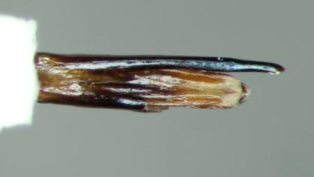 Paratyndaris mimica (genitalia ventral)