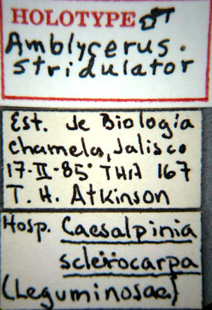 Amblycerus stridulator (etiquetas)