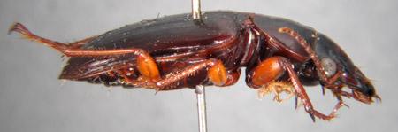 Polpochila hendrichsi (lateral)