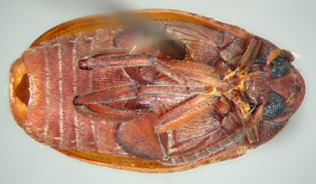 Amblycerus stridulator (ventral)
