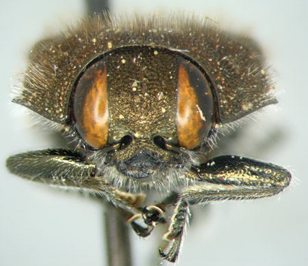 Acmaeodera aeneoflava (frente)