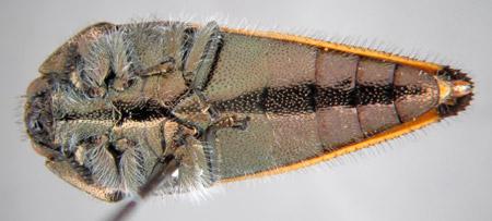 Acmaeodera mixteca (ventral)